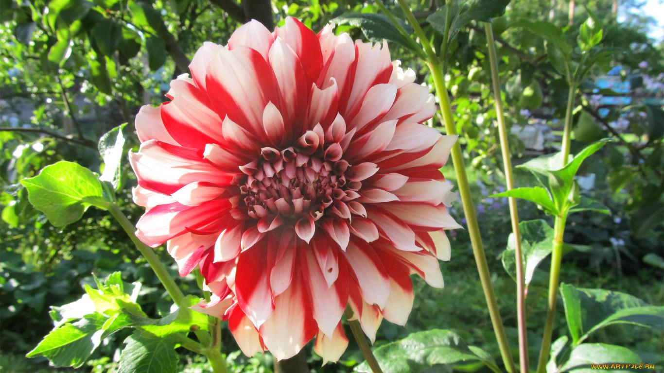 Садовые цветы георгин фото